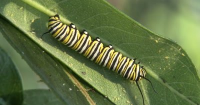 Monarch Butterfly Catterpillar,Resting on Milkweed Leaf,Aphids and Insects Nearby