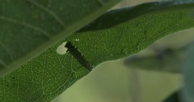 Small,Newly Hatched Monarch Butterfly Larvae,Caterpillar,Feeding on Milkweed