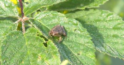Northern Spring Peeper,Frog,Sitting on Blackberry Leaves