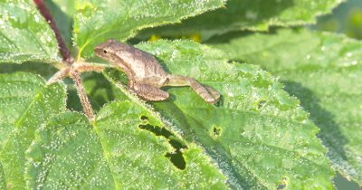 Northern Spring Peeper,Frog,Sitting on Blackberry Leaves,Moves to Back of Leaf