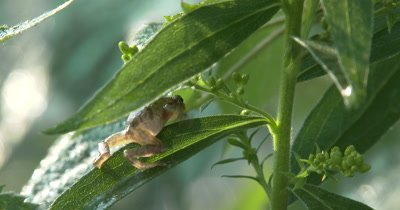 Northern Spring Peeper,Frog,Moves Out of Sight to Back of Plant,Rack Focus Back to Frog