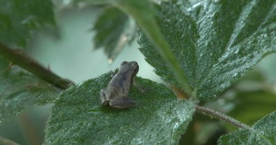 Northern Spring Peeper,Frog,Sitting on Blackberry Leaves,Back to Camera,Looking Over Top Of Leaf