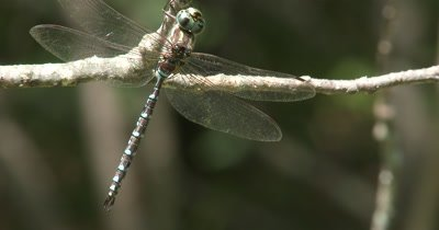 Canada Darner Dragonfly,Resting on Branch