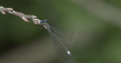 Spreadwing Damselfly,Swamp Spreadwing Resting on Tip of Branch,View From Back