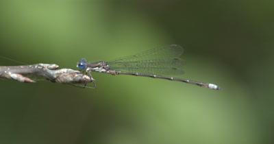 Spreadwing Damselfly,Riding on Bud End of Small Branch
