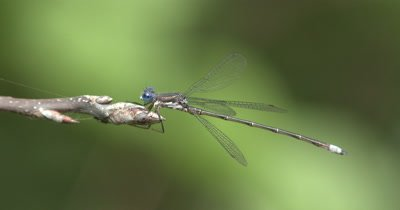 Spreadwing Damselfly,Riding The Breeze on Bud End of Small Branch