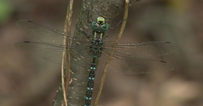 Canada Darner,Dragonfly Resting on Side of Small Tree