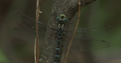 Canada Darner,Dragonfly Resting on Side of Small Tree,Moving Mouth