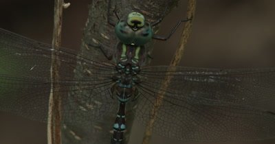 Canada Darner,Dragonfly Resting on Side of Small Tree,Small Insects Running Up and Down Behind