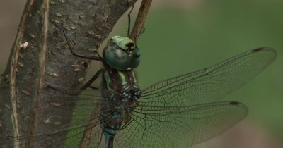 Canada Darner,Dragonfly Resting Moving Leg Beside Eye