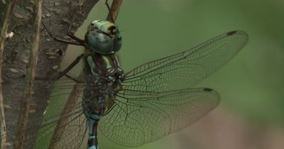 Canada Darner,Dragonfly Resting on Side of Small Tree,Moves,Repositions Body