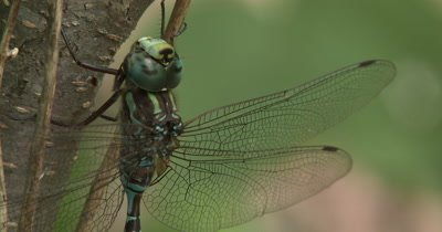 Canada Darner,Dragonfly Resting on Side of Small Tree,Side View,Twisting Leg