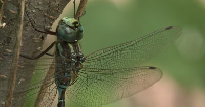 Canada Darner,Dragonfly Twisting Head,Washing Face