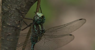 Canada Darner,Dragonfly Resting on Side of Small Tree,Close Up Eyes,Moves Leg Over Eye