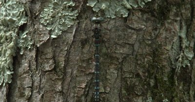 Canada Darner,Dragonfly Resting on Evergreen Trunk,Abdomen Moving,Breathing