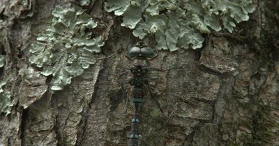 Canada Darner,Dragonfly Resting on Side of Evergreen,Close Up Abdomen,Eyes