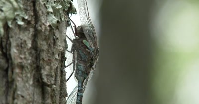 Pan Up Canada Darner,Dragonfly Resting on Side of Evergreen Trunk,Close Up Side View