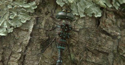 Close Up Eyes,Wings,Face of Canada Darner Dragonfly on Evergreen,Twitches Wings
