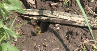 Yellow Jacket Wasps,Ground Bee Nest Hole in Ground,Suddenly Wasps Coming and Going