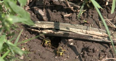Yellow Jacket Wasps,Ground Bee Nest,Close Up Wasps Working on Nest in Ground,Carrying Mud Out of Hole