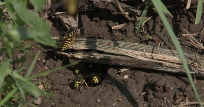 Yellow Jacket Wasps,Ground Bee Nest,Wasps In Ground Nest,Coming and Going,Carrying Mud Out of Nest
