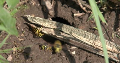Wasp Working on Wood in Doorway to Nest,Others Removing Mud From Below Ground,Yellow Jacket Wasps,Ground Beehive