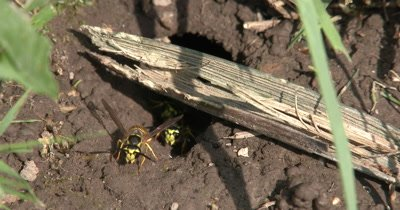 Yellow Jacket Wasps,Ground Bees,ZI to Many Wasps In Ground Nest,Coming and Going,Some Carrying Mud Out of Nest