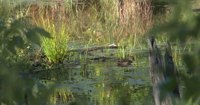 Young Male Wood Duck Feeding in Pond