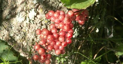 False Solomon's Seal Berries