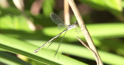 Damselfly,Spreadwing Clasped to Plant Stem,Resting