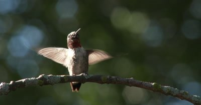 Lichen Covered Branch,Male Ruby-throated Hummingbird Enters,Lands,Exits Quickly