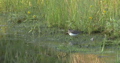 Solitary Sandpiper,Hunting for Food Along Edge of Marsh