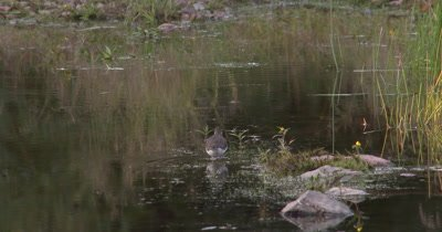 Solitary Sandpiper Hunting in Shallow Water,Marsh
