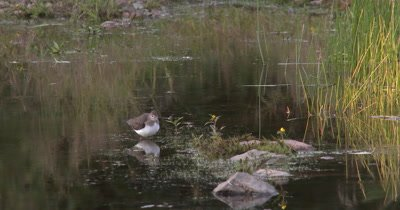 Solitary Sandpiper,Hunting,Stops to Preen,Reflection