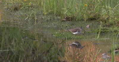 Solitary Sandpiper Hunting Invertabrates Along Edge of Marsh,Reflection Of Bird in Water