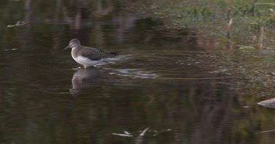 Solitary Sandpiper Hunting in Marsh,Wades Across Shalliow Water,Hunting,Reflection in Water