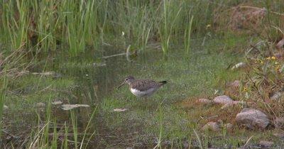 Solitary Sandpiper Hunting,Wades Through Marsh Away from Camera