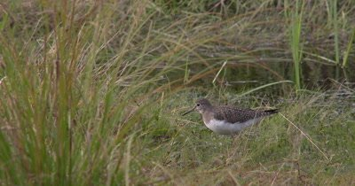 Solitary Sandpiper Hunting in Reeds Near Water Edge,Bobs Head