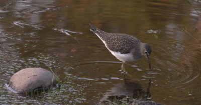 Solitary Sandpiper Hunting in Shallow Water