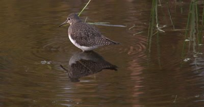 Solitary Sandpiper,Hunting in Shallow Water,Reflection