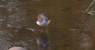 Solitary Sandpiper,Hunting in Shallow Water,Bobbing Head,Looking for Food