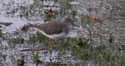 Solitary Sandpiper,Walking Through Water,Exits