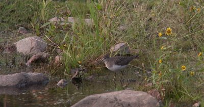 Solitary Sandpiper,Feeding on Invertabrates,Moves Off to Hunt Again