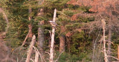 Belted Kingfisher,Female,Sitting on Snag Overlooking Pond
