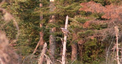 Belted Kingfisher,Female,Sitting on Snag Overlooking Pond,Looks To Side