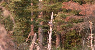 Belted Kingfisher,Female,Sitting on Snag Overlooking Pond,Looks Down,Hunting