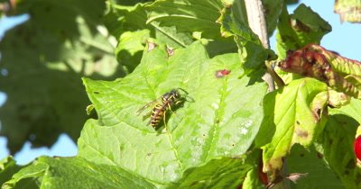Cranberry Leaf,Yellow Jacket Wasp Appears,Crawls,Grooms
