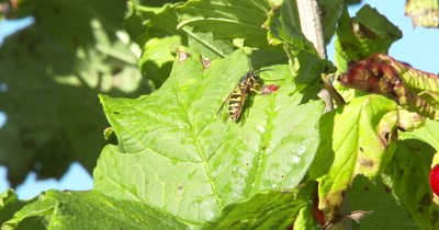 Cranberry Leaf,Yellow Jacket Wasp Grooming,Another Wasp Enters,First Wasp Exits