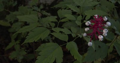 Doll's Eyes,White Baneberry,Poisionous Wild Plant