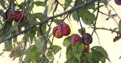 Wild Plum,Natural Wiid Food